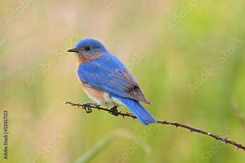 Eastern Bluebird Male Tablou Canvas