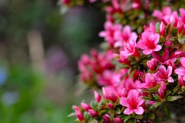 Azaleja na cvatu ružičastim i ljubičastim proljetnim cvjetovima. Vrtlarenje