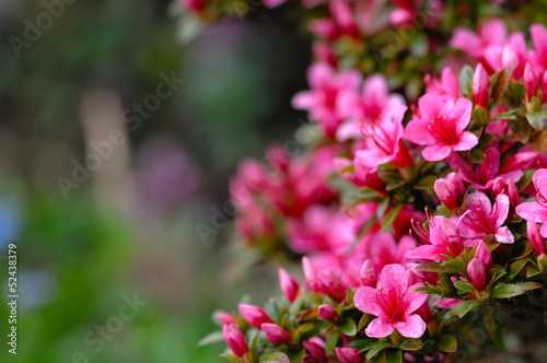 Garden Poster Azalea Azalea blooming pink and purple spring flowers. Gardening