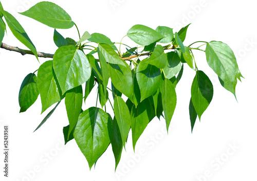 Fotografia Liście zielone topoli na białym tle