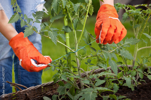 Staking cocktail tomato plants, gardening concept Fototapeta