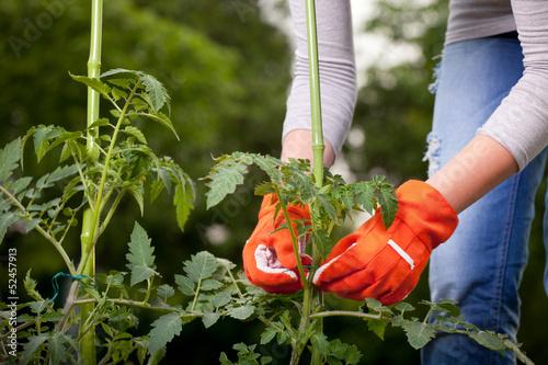 Fotografija Staking cocktail tomato plants, gardening concept