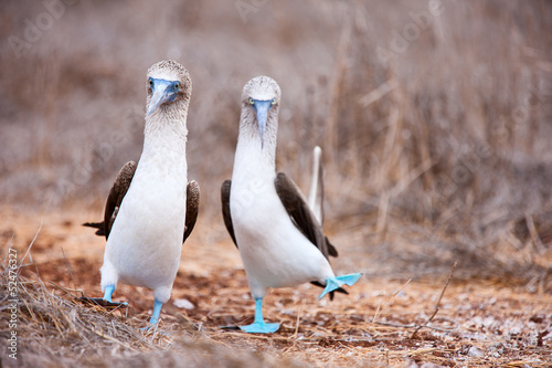 Poster South America Country Blue footed booby mating dance