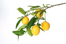 Branch Of Juicy Lemons  With Leaves Isolated On White Background