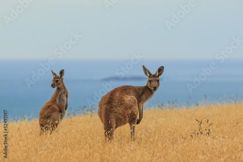 Fotobehang Kangoeroe A curious and observant Kangaroo on the South coast of Australia