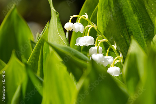 Deurstickers Lelietje van dalen Blooming Lily of the valley in spring garden