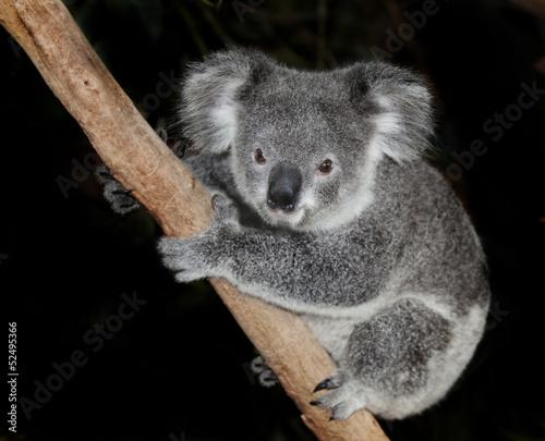 In de dag Koala australian koala bear