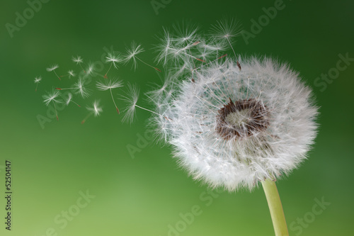 Montage in der Fensternische Lowenzahn Dandelion clock in morning mist