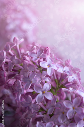 Foto op Canvas Lilac branch of a lilac