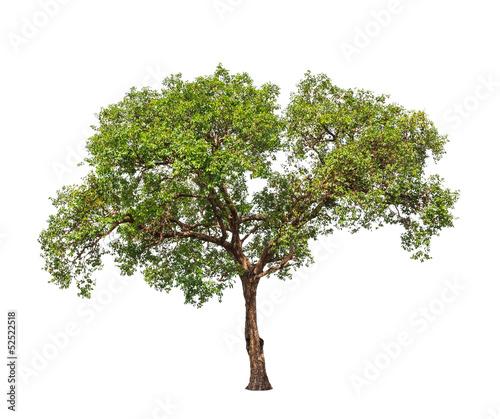 Jambul (Syzygium cumini)