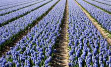 Field Of Hyacinth.