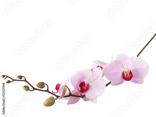Poster Orchidée light pink orchid isolated on white