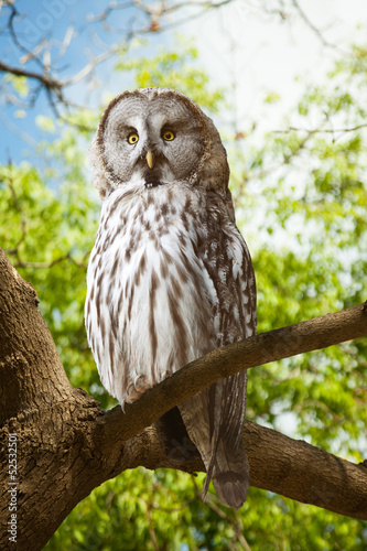 Keuken foto achterwand Uil Great Grey Owl at forest