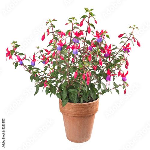 Stampa su Tela fuchsia plant