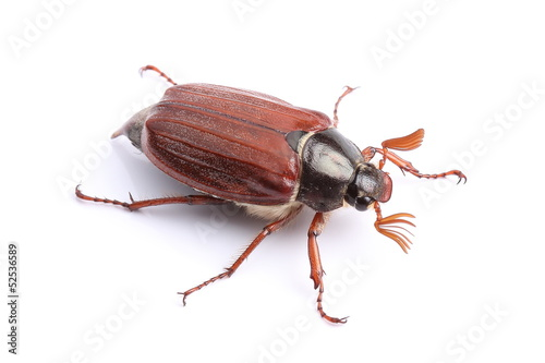 Male of cockchafer isolated on white