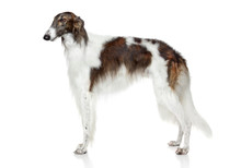 Russian Borzoi Dog On White Ba...
