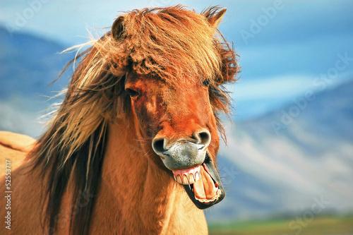 Fotografie, Obraz  Icelandic horse smiling