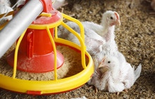 Chicken Farm With Feed