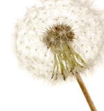 Beautiful dandelion with seeds, isolated on white - 52572108