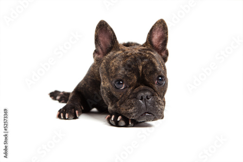 Foto op Canvas Franse bulldog french bulldog portrait - isolated on white