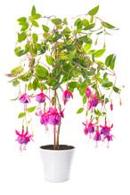 Fuchsia Flower Houseplants In Flower Pot, Tennessee Walts