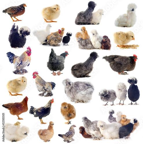 races de poules Wallpaper Mural