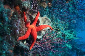 mediterranean red starfish Marseille