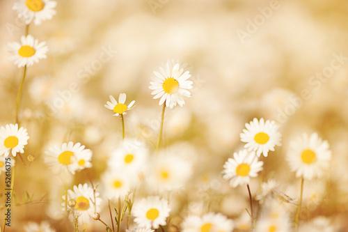Fototapeta Daisies on meadow with beautiful light effect obraz na płótnie