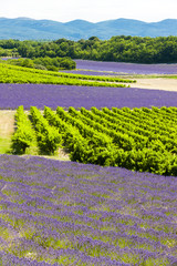 Panel Szklanylavender fields with vineyards, Rhone-Alpes, France