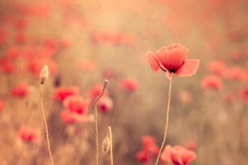 Fototapeta samoprzylepna Artistic poppy closeup in the sunshine
