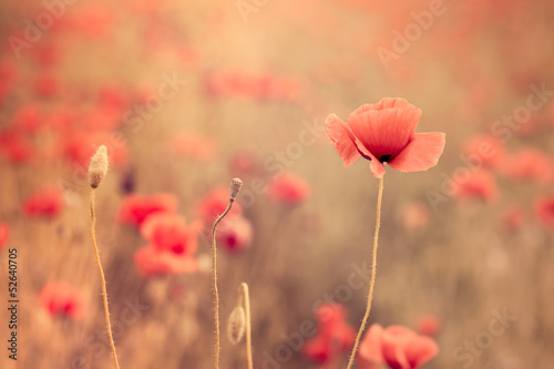 Artistic poppy closeup in the sunshine - fototapety na wymiar