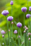 Close up of a chive flower