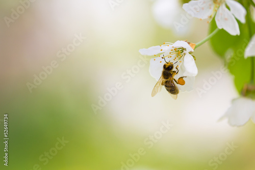 Fotobehang Bee Honey bee enjoying blossoming cherry tree on a lovely spring day
