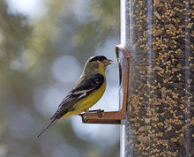 An American Goldfinch Bird Sit...