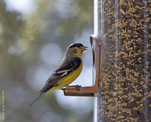Papiers peints Oiseau An American Goldfinch bird sitting on a backyard feeder