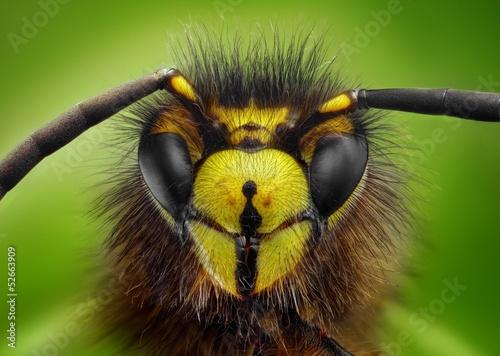 Valokuva  Extreme sharp and detailed study of wasp head