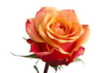 Einzelne Orange Rosenblüte