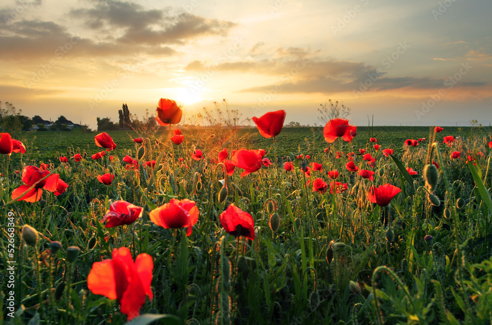 Fototapeta Poppies field flower on sunset