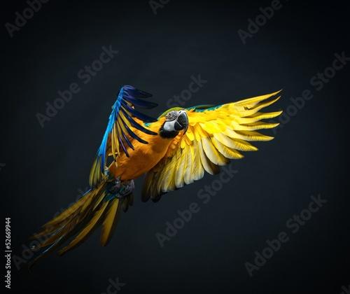 Fond de hotte en verre imprimé Perroquets Colourful flying Ara on a dark background
