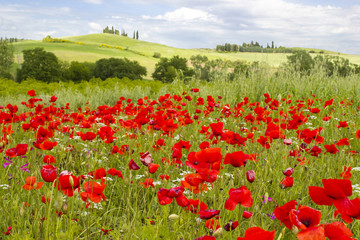 Fototapetaspring in Tuscany, landscape with poppies