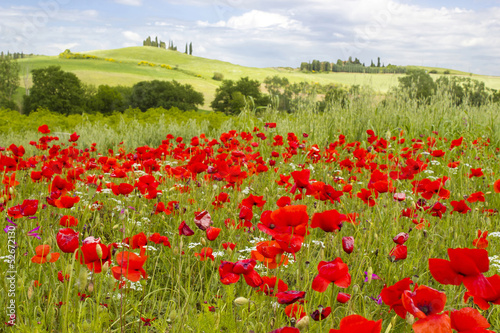 Papiers peints Toscane spring in Tuscany, landscape with poppies