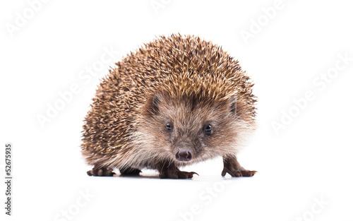 Fotografie, Obraz wild hedgehog isolated on white