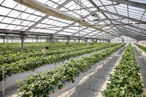 Stampe  温室栽培