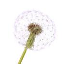 Dandelion isolated on white - 52697143