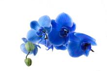 Orquidea Azul Cortada Y Aislada