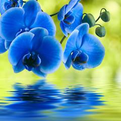 Fototapeta Storczyki orquidea azul sobre fondo natural verde