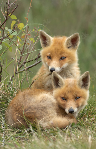 Two red fox cubs Wallpaper Mural