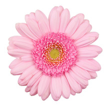 Pink Gerbera Flower Isolated