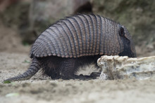 Isolated Armadillo Close Up Po...