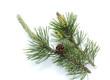 canvas print picture - Bergkiefer, Kiefer, Pinus mugo